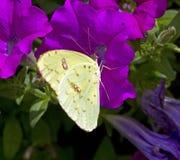 Bewölkter Schwefel-Gelb-Schmetterling auf Petunie Stockbild