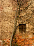 Bewachsene Wand - Wall with tree. Baum wächst an alter Fassade hinauf Stock Photos
