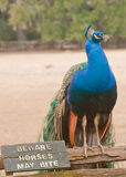 Beware. Peacock standing on a wooden fence next to sign saying 'Beware Horses May Bite royalty free stock image