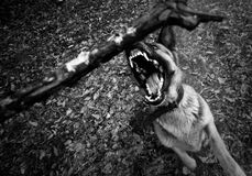 Beware of dog. A german shepherd dog attacking Stock Image