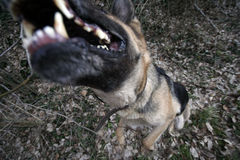 Beware of dog. A german shepherd dog attacking Royalty Free Stock Photography