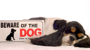 Beware of dog. Tri color american cocker spaniel sleeping with beware of dog sign Royalty Free Stock Photography