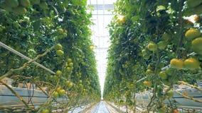 Bewegen durch das Gewächshaus mit Tomaten entlang dem passway stock video
