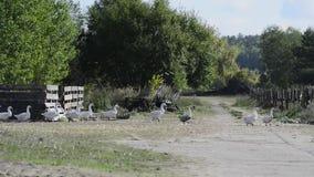 Bewegende ganzen op het landbouwbedrijf in Oostelijk stock video