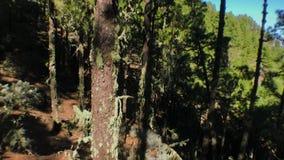 Bewegende Kiefern auf dem Holz stock video