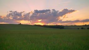 Bewegende lengte met hommel van mooie zonsondergang boven tarwe of roggegebied, verbazende roze hemel met wolken, luchtmening stock videobeelden