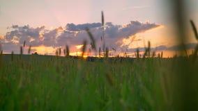 Bewegende lengte van mooi tarwe of roggegebied met verbazende hierboven zonsondergang, roze hemel met wolken stock video
