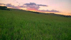 Bewegende lengte van mooie roze zonsondergang boven tarwe of roggegebied, verbazende ongelooflijke aard stock footage