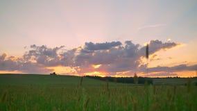Bewegende lengte van mooie zonsondergang boven tarwe of roggegebied, verbazende roze hemel met wolken stock footage