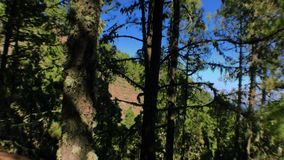 Bewegende pijnbomen op hout 3 stock videobeelden