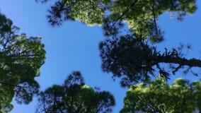 Bewegende pijnbomen op hout 5 stock footage