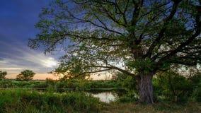 Bewegende wolken achter één enkele grote eiken boom stock footage