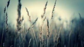 Beweging bij het kweken van gras Droog gras stock video