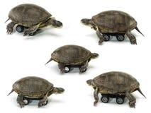 Bewegliche Schildkröte Lizenzfreie Stockfotos