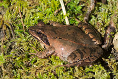 Beweglicher Frosch (Rana dalmatina) lizenzfreie stockbilder