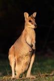Beweglicher Wallaby, Australien Stockbild