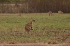 Bewegliches Wallaby und joey im Hinterland Stockbild