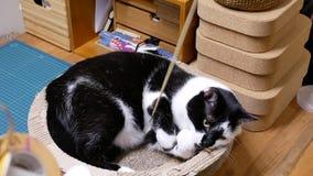 Bewegung der Katze der getigerten Katze zu Hause aufpassend und mit Leuten spielend stock video