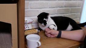 Bewegung des Fütterungskatzenfutters der getigerten Katze der Frau zu Hause stock video