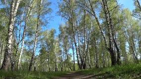 Bewegung entlang dem Weg in einer Birkenwaldung, genommen von einem Tiefpunkt stock footage