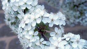 Bewegung entlang der blühende Kirschniederlassung Blühende weiße Blumen des Frühlinges auf der Niederlassung, Abschluss oben Früh stock footage
