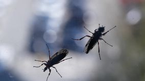 Bewegung von zwei Insekten auf Fenster mit dem Unschärfeautobewegen stock footage