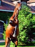 Bewegungs-Aufzucht des erstaunlichen Brutauslese Stallion Stockbild
