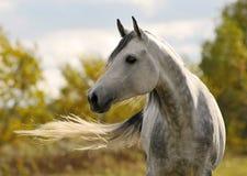 Bewegungshaar des weißen Pferds Stockfotos