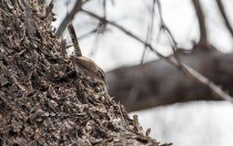 Bewick ` s strzyżyk patrzeje dla pluskw Zdjęcia Royalty Free