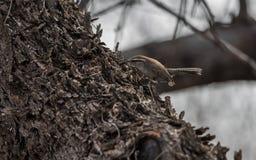 Bewick ` s strzyżyka gmeranie dla pluskw Zdjęcie Royalty Free