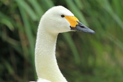 Bewick's swan Stock Photography