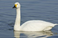Bewick's Swan Royalty Free Stock Photos