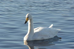 Bewick's Swan. A Bewick's Swan Royalty Free Stock Photo
