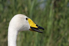 Bewick`s swan beak Royalty Free Stock Photography