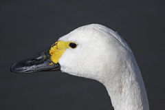 Bewick's Swan Stock Image