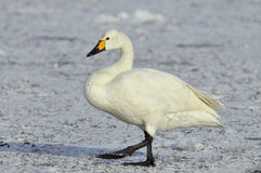 Bewick's Swan - Cygnus bewickii Stock Photo