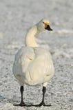 Bewick's Swan - Cygnus bewickii Royalty Free Stock Photos