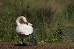 Bewick`s swan Stock Photo
