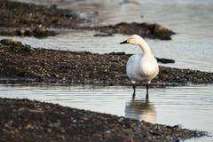 Free Bewick`s Swan Cygnus Columbianus Stock Image - 140711881