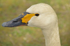 Bewick's Swan (Cygnus columbianus bewickii) Royalty Free Stock Images