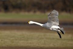 Bewick's swan, Cygnus columbianus Royalty Free Stock Photo