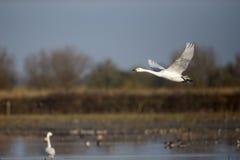 Bewick's swan, Cygnus columbianus Royalty Free Stock Photography