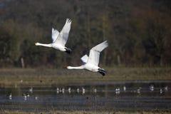 Bewick's swan, Cygnus columbianus Stock Photo