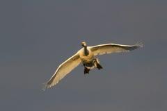 Bewick& x27;s Swan & x28;Cygnus columbianus& x29; in flight stock photos