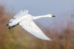 Bewick`s Swan in flight. Stock Photos