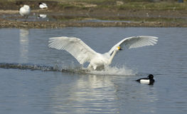 Bewick's Swan landing Stock Photo