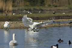 Bewick's Swan Landing Stock Photos