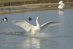 Bewick's Swan Landing Stock Image