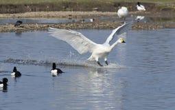 Bewick's Swan Landing Stock Photography