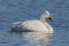 Bewick`s Swan at rest. Stock Image